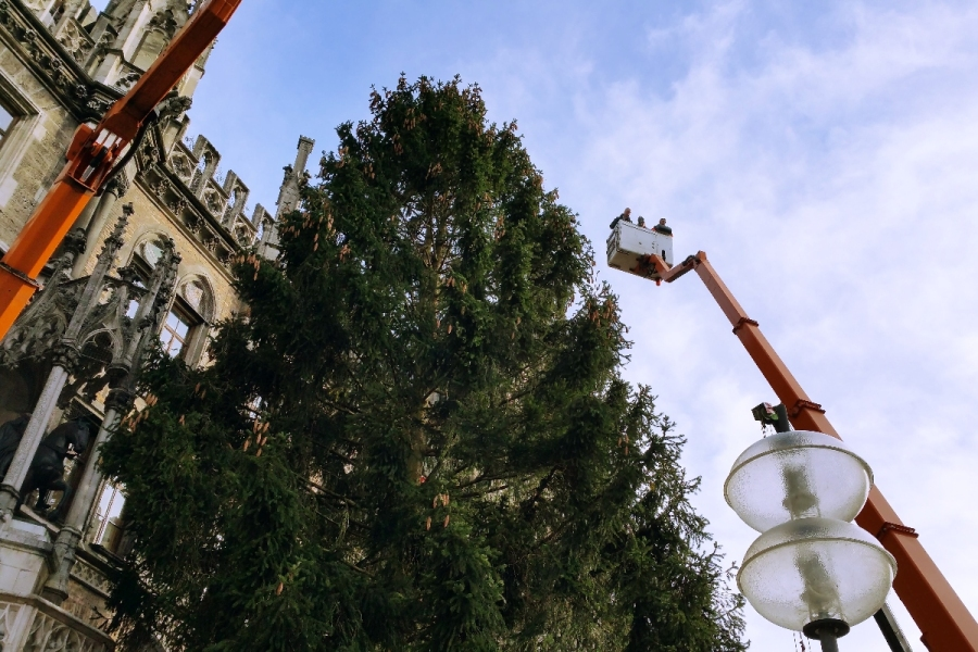 The 90 foot tall tree is 85 years old and weights 6.5 tons -- munichFOTO