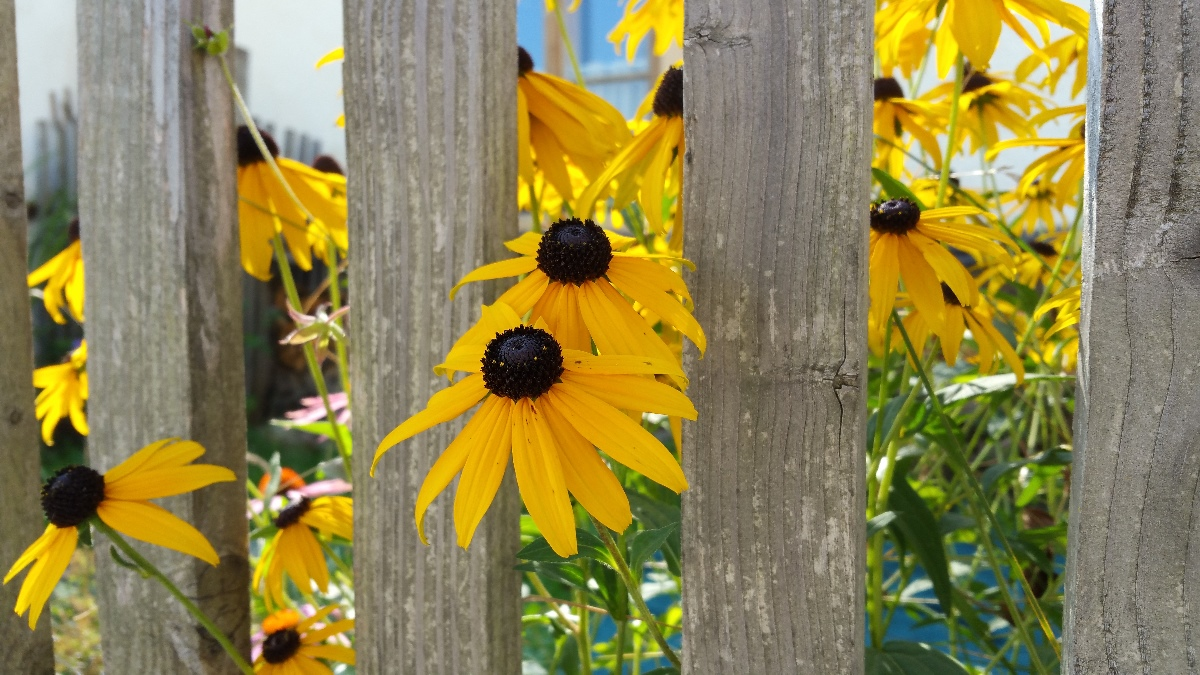 Black-eyed Susans poking through the fence in front of one of the many private residences that dot the property